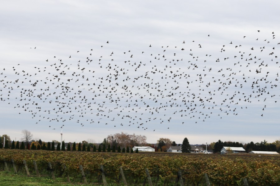 If not deterred, fruit-eating birds can cause damage to agricultural crops, the provincial ministry says. (Dariya Baiguzhiyeva/Niagara Now)