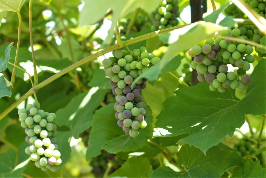 Rows of grapes growing along the Heritage Trail. (Brittany Carter/Niagara Now)